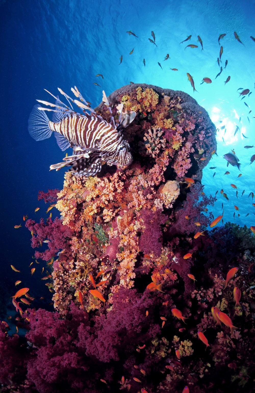 LIONFISH ON REEF CRedit: Cinzia Osele Bismarck / coral reef image bank