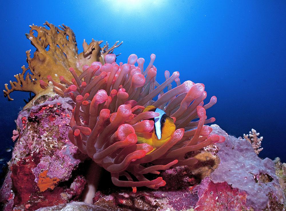 clownfish in anemone CRedit: Cinzia Osele Bismarck / coral reef image bank
