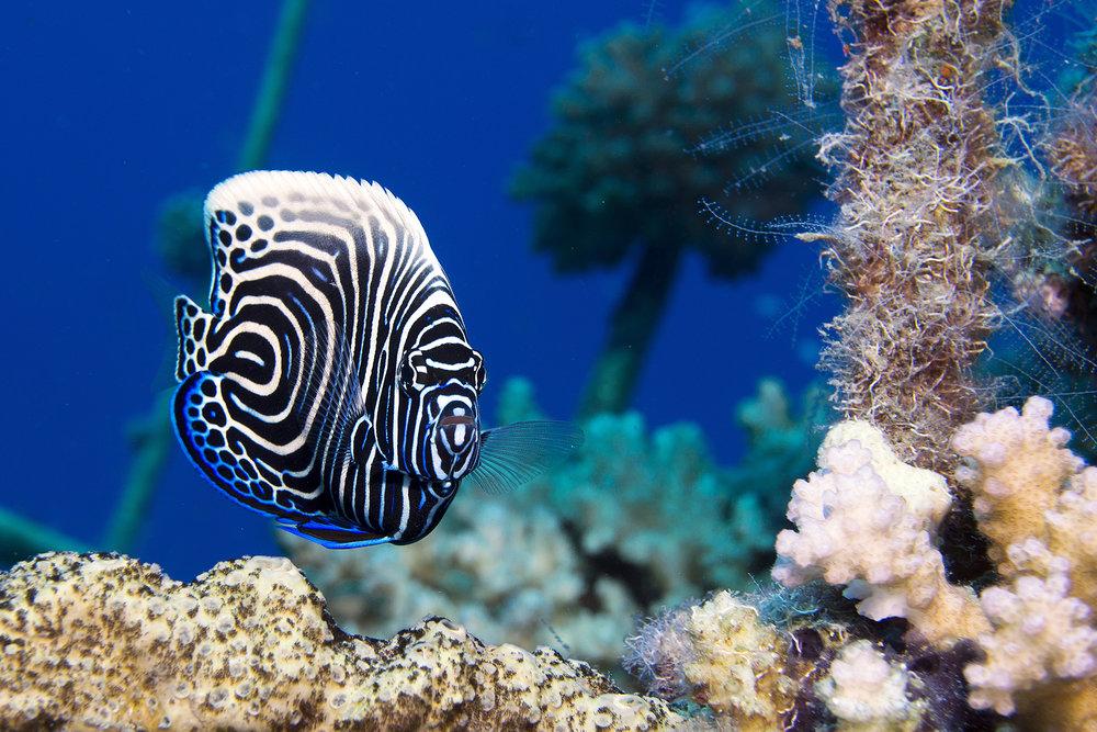 Juvenile Emperor Angelfish credit: Cinzia Osele Bismarck / coral reef image bank