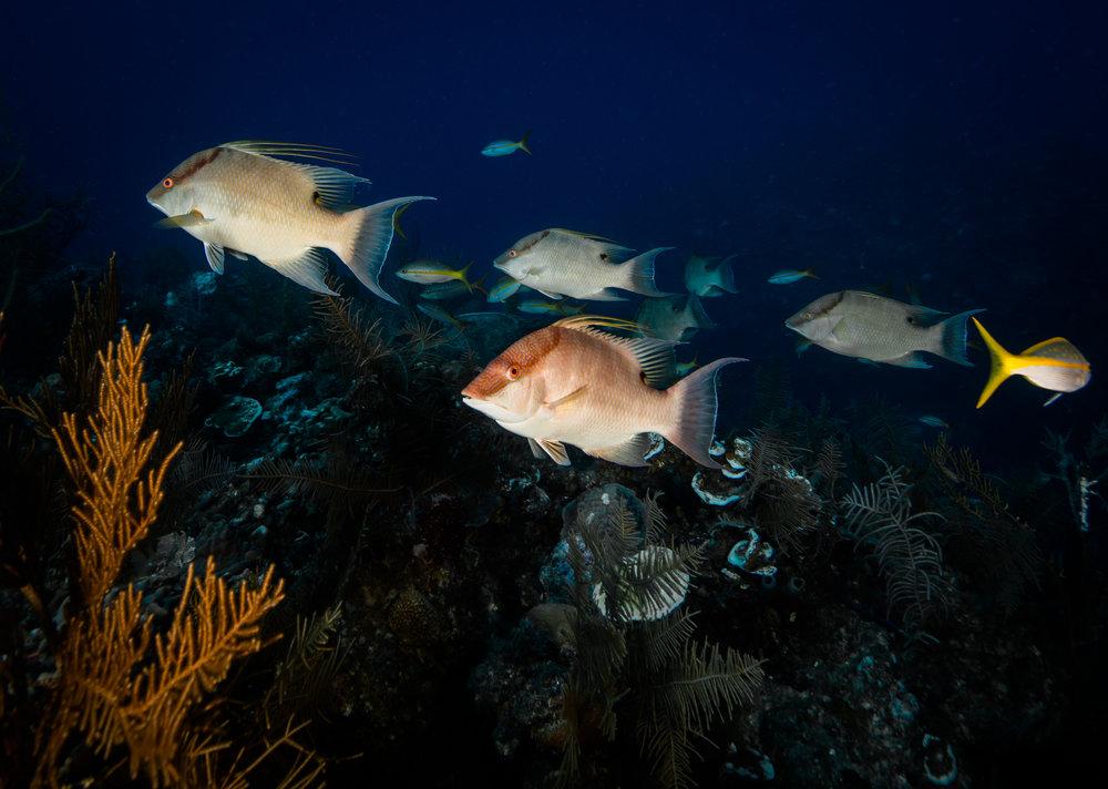hogfish, Jardines De La Reina CRedit: Phillip hamilton / CORAL REEF IMAGE BANK