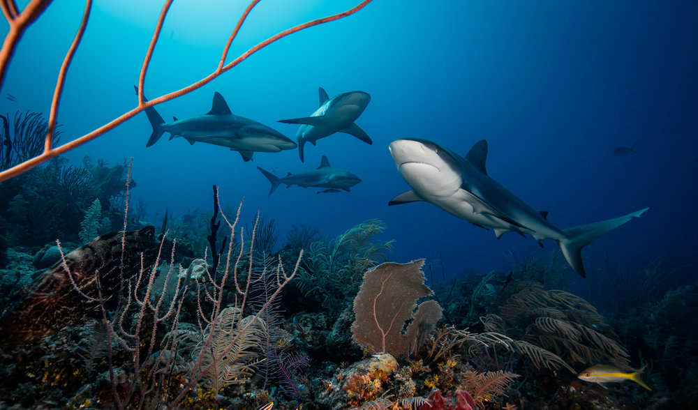reef sharks, Jardines De La Reina CRedit: Phillip hamilton / CORAL REEF IMAGE BANK
