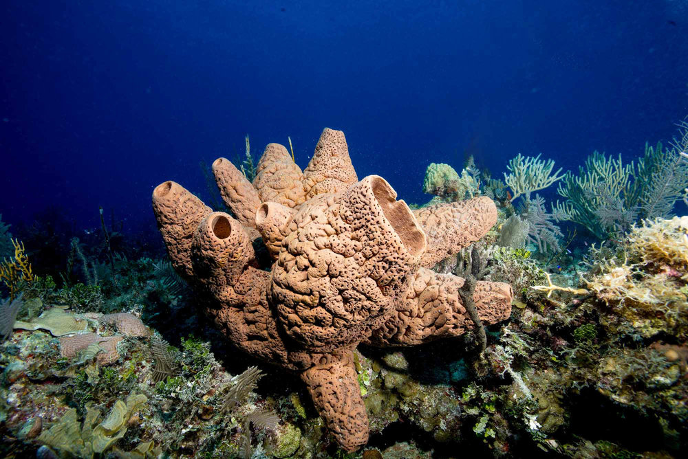 sponge, Jardines De La Reina credit: DAVID GROSS / CORAL REEF IMAGE BANK