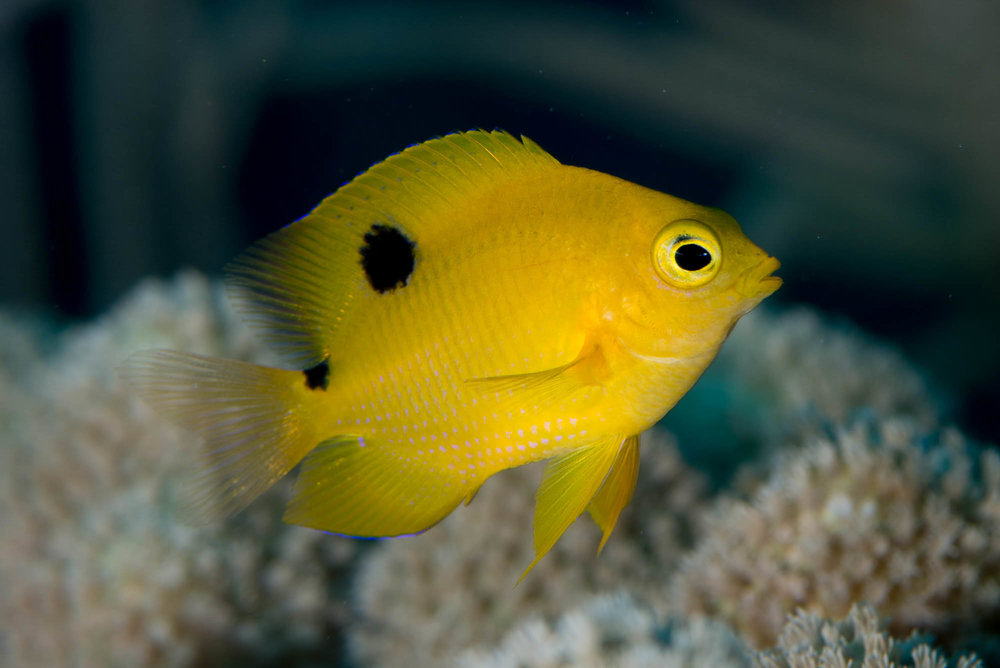 Threespot Damselfish (juvenile) Jardines De La Reina credit: DAVID GROSS / CORAL REEF IMAGE BANK