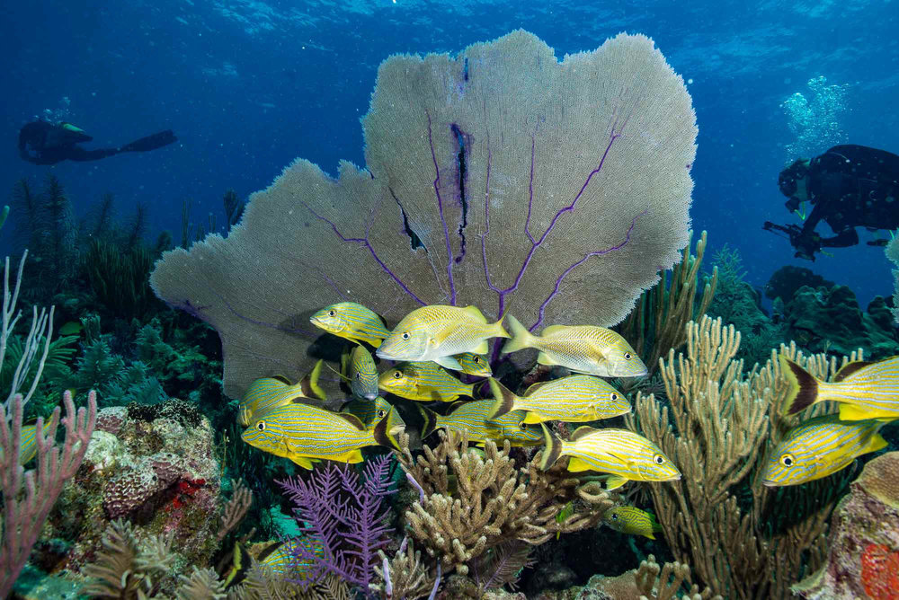 grunts near fan, Jardines De La Reina credit: DAVID GROSS / CORAL REEF IMAGE BANK