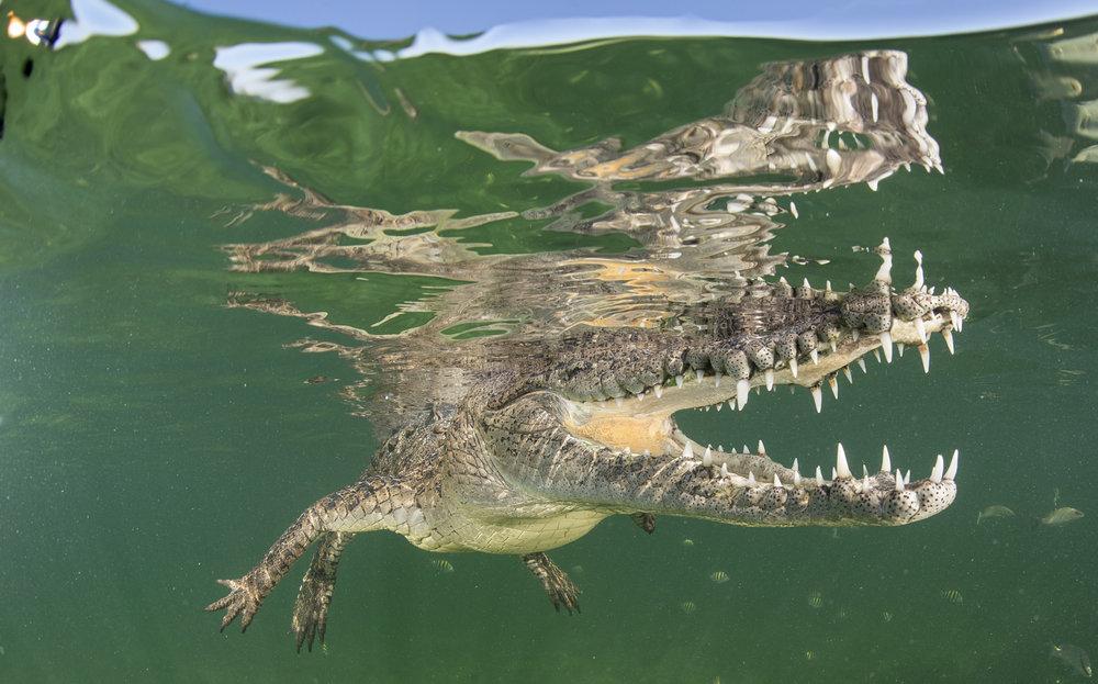 Cuban crocodile, zapata swamp credit: Jayne Jenkins / CORAL REEF IMAGE BANK