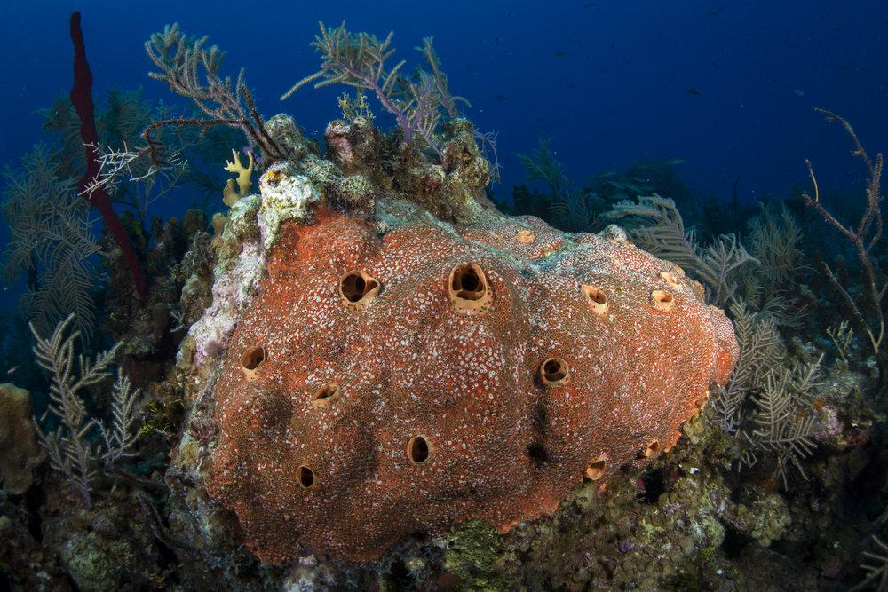 sponge, grand cayman CREDIT: Ellen Cuylaerts/ coral reef image bank