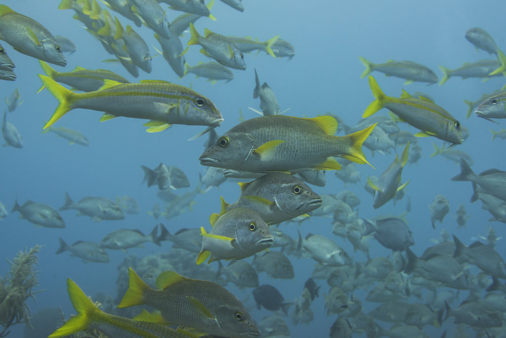 schoolmasters in grand cayman CREDIT: Ellen Cuylaerts/ coral reef image bank