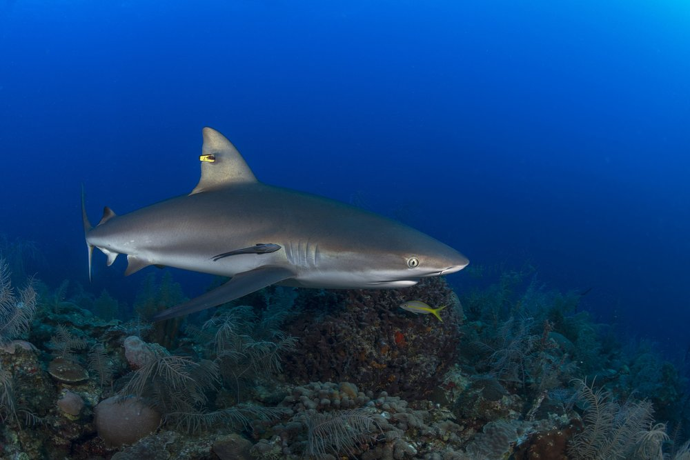 SILKY shark in cuba credit: JAYNE JENKINS