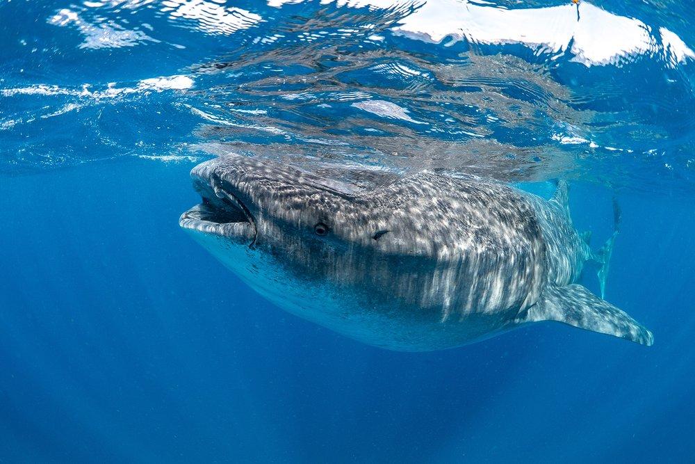 whaleshark in Isla Mujeres, Mexico CREDIT: SIMON J. PIERCE