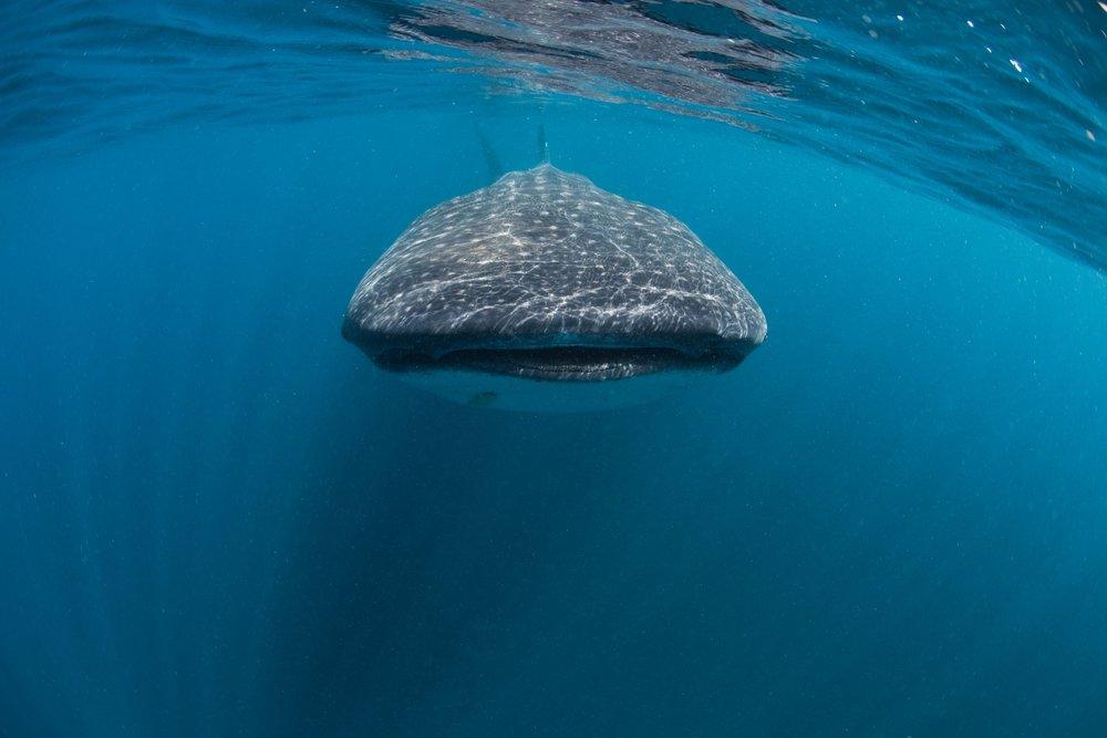 WHALE SHARK CREDIT: ANDY CASAGRANDE