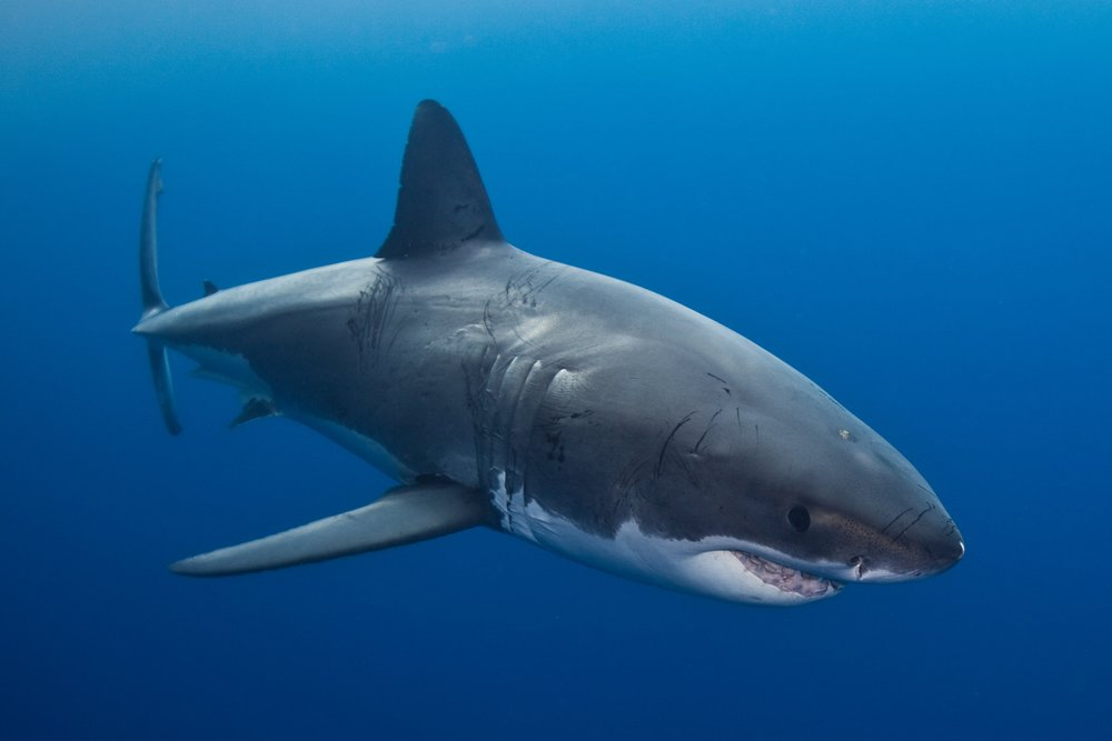 GREAT WHITE SHARK CREDIT: ANDY CASAGRANDE/ coral reef image bank