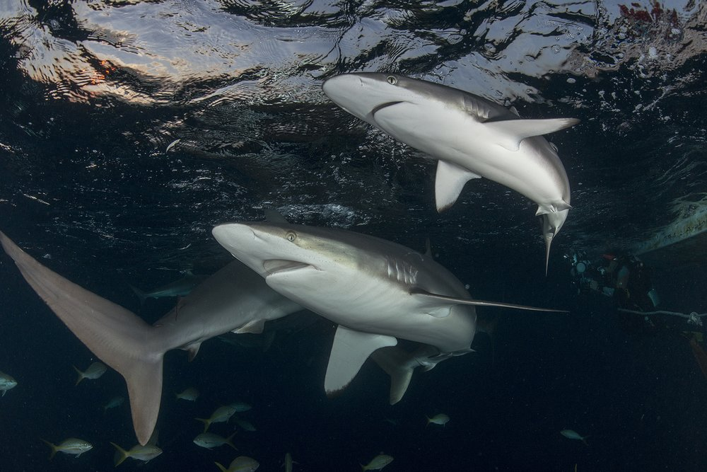 SILKY SHARKS IN CUBA AT NIGHT CREDIT: Jayne JENKINS/ coral reef image bank