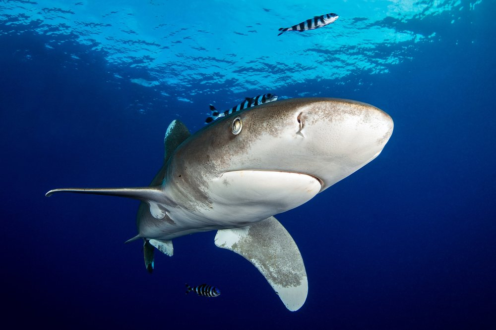 sHARK IN Daedalus Reef, EGYPT credit: fabric dudenhofer/ coral reef image bank