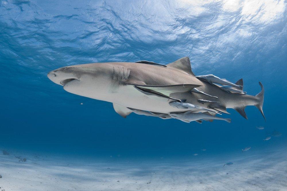 shark with remoras CREDIT: ANDY CASAGRANDE