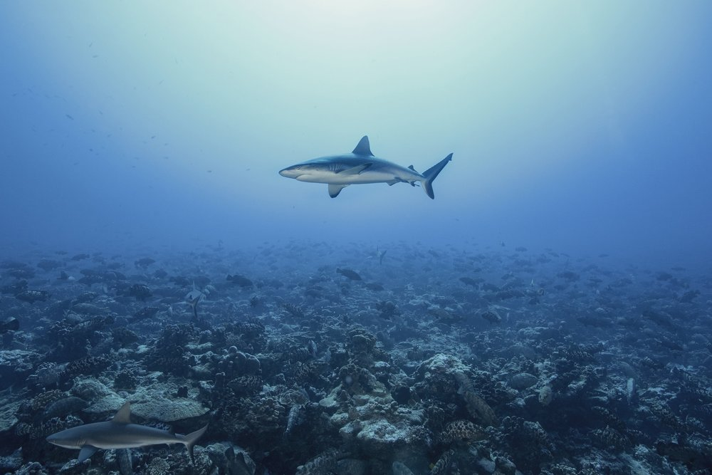 SHARK IN FAKARAVA DURING GROUPER SPAWNING CREDIT: RICK MISKIV/ coral reef image bank