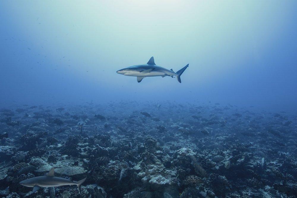 SHARK IN FAKARAVA DURING GROUPER SPAWNING CREDIT: RICK MISKIV