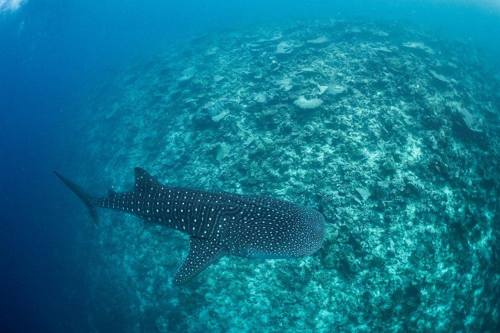 whale shark in South Ari Atoll, Maldives CREDIT: SIMON J. PIERCE
