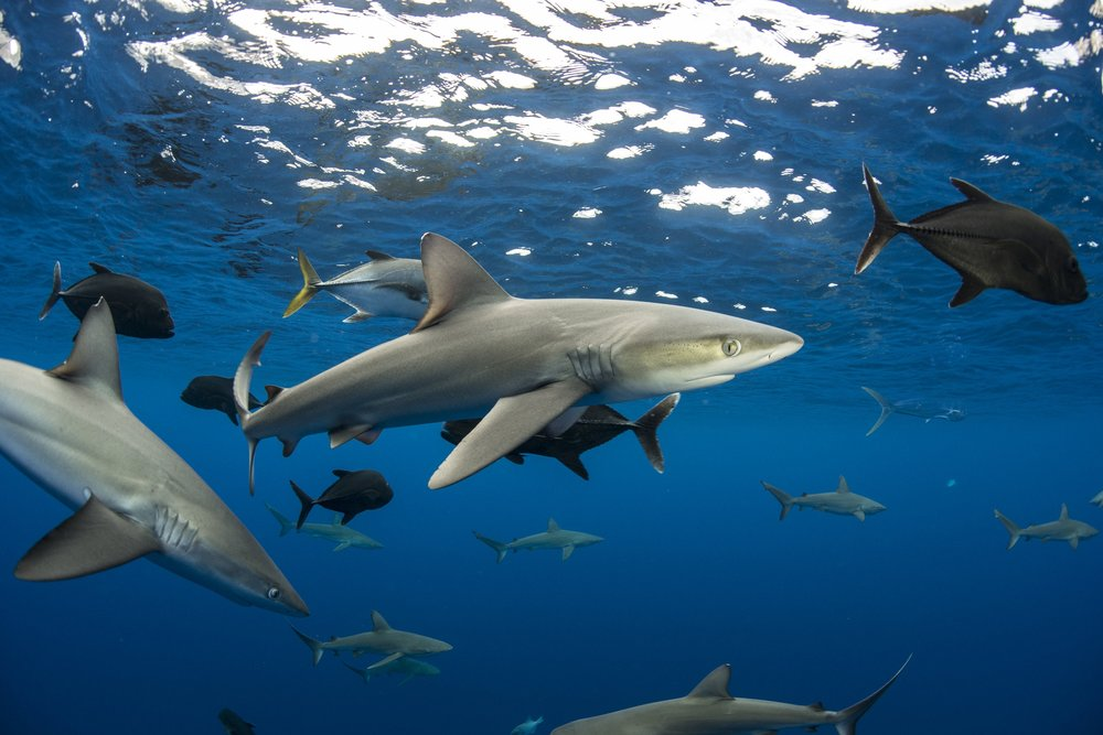 Galapagos shark, blackfish, Ascension island redit: ellen cuylaerts/ coral reef image bank