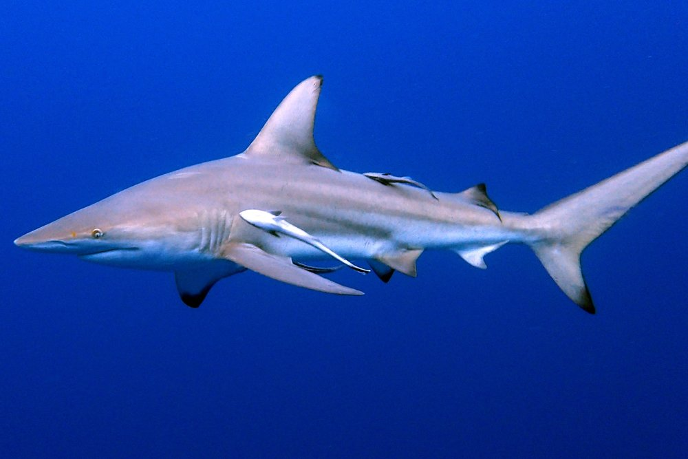 BLACK TIP reef shark CREDIT: BARK LUKASIK/ coral reef image bank