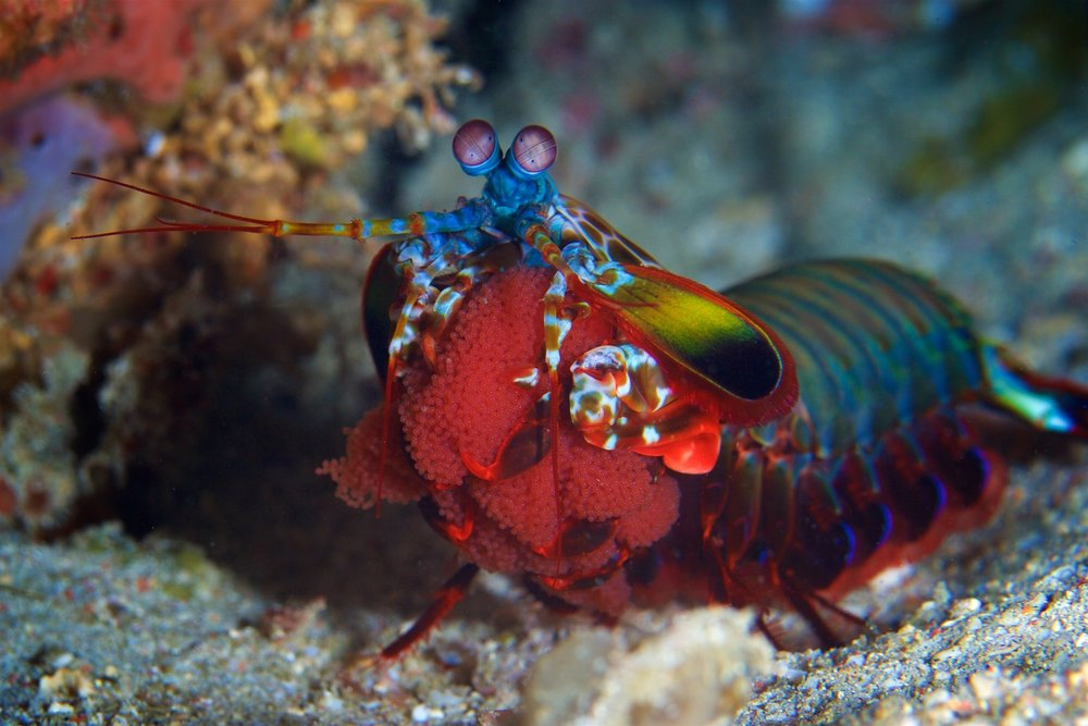 mantis shrimp credit: gregory piper