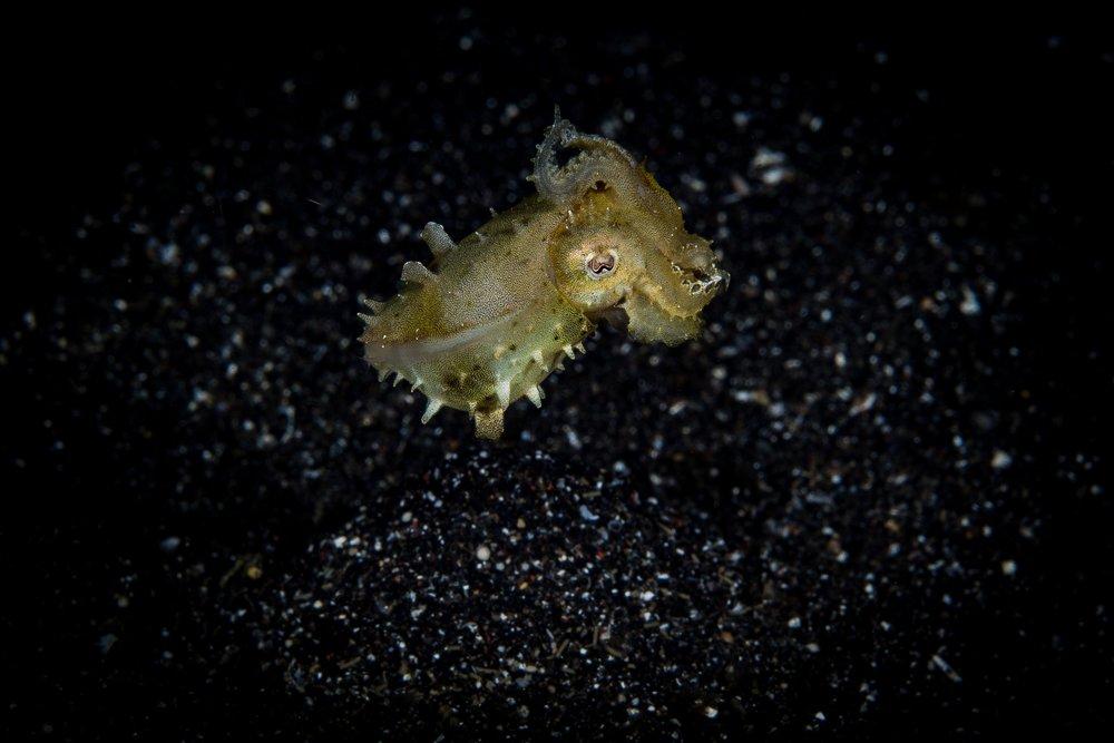 Juvenile cuttlefish CREDIT: WOJTEK MECZYNSKI / coral reef image bank