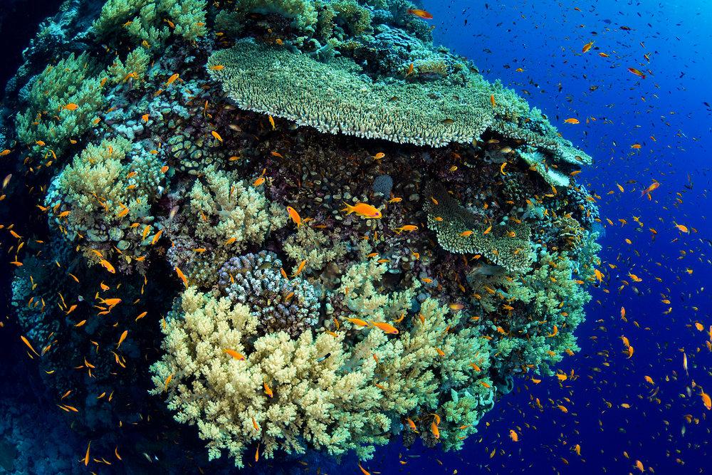 Daedalus, Egypt credit: fabrice dudenhofer / coral reef image bank