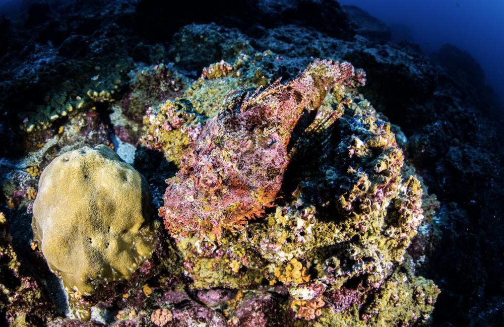 stonefish credit: kimberly jeffries / coral reef image bank