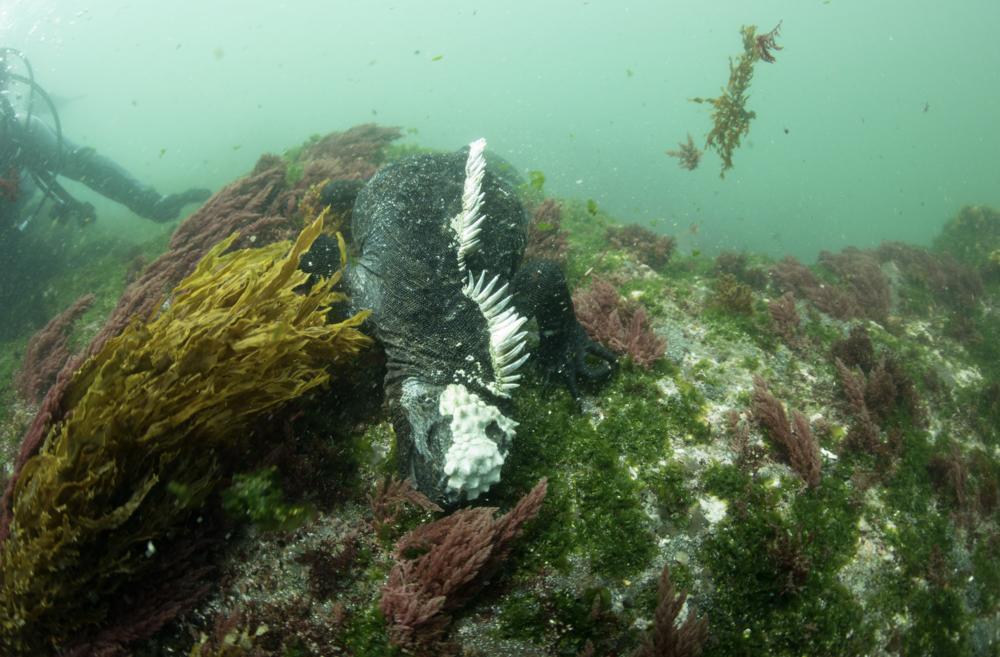 Galápagos marine iguana credit: kimberly jeffries / coral reef image bank