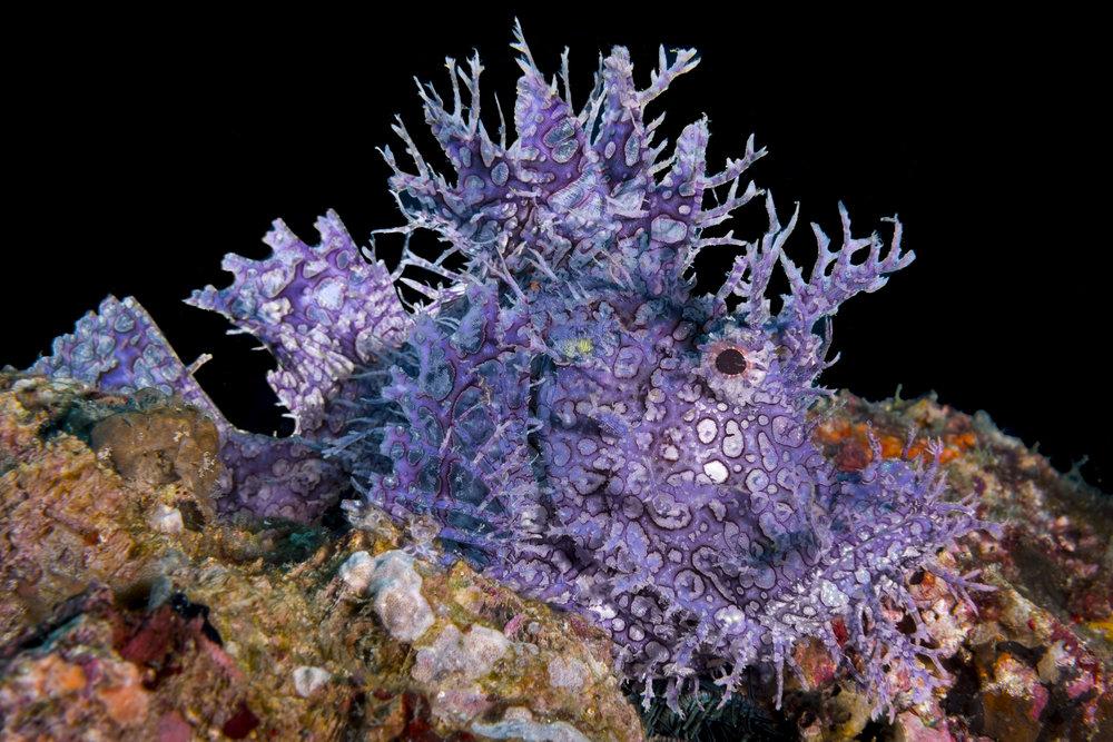 Weedy Scorpionfish (Rhinopias frondosa) credit: alex tyrrell / coral reef image bank