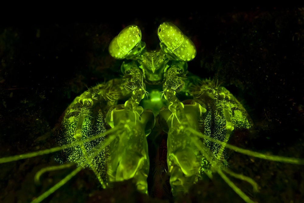 Lisa's Mantis Shrimp Fluorescence (Lysiosquillina lisa) credit: alex tyrrell/ coral reef image bank
