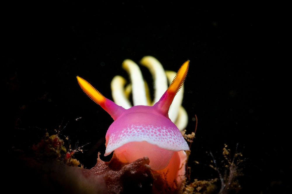 Hypselodoris apolegma CREDIT: ERIK LUKAS / coral reef image bank