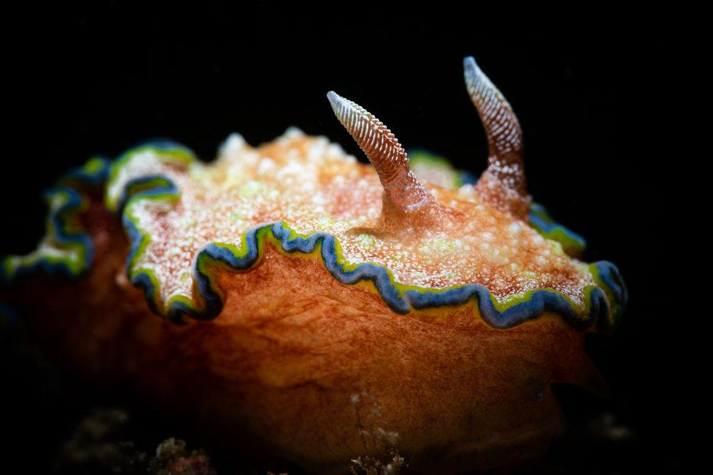 Glossodoris cincta CREDIT: ERIK LUKAS / coral reef image bank