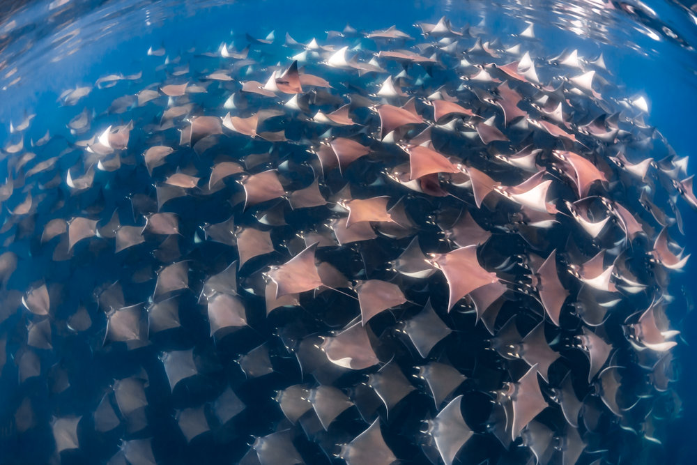 Mobula rays off of mexico credit: Nick Polanszky/ coral reef image bank