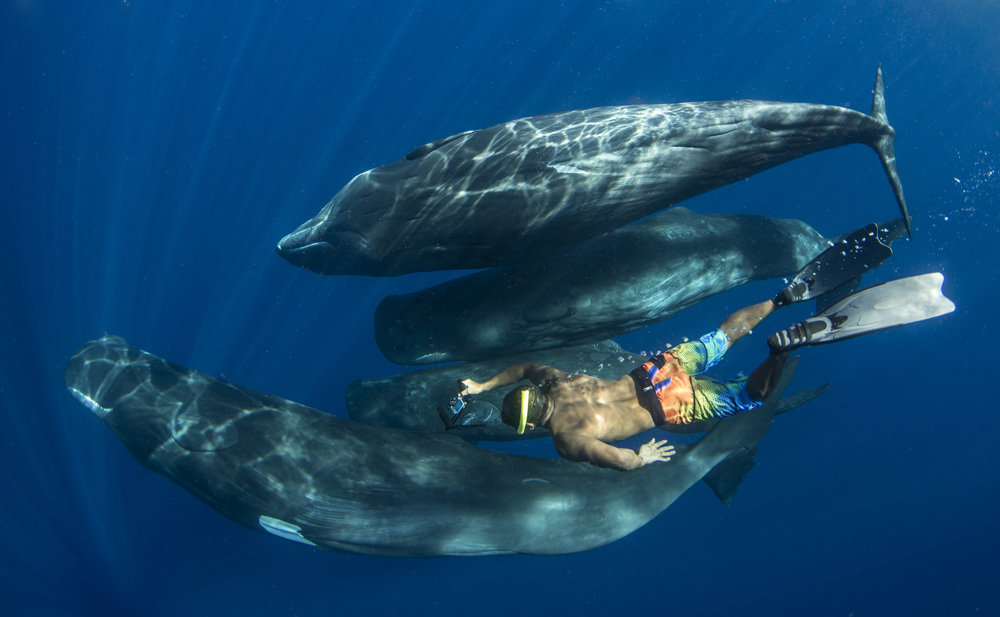 sperm whales with diver credit: amanda cotton / coral reef image bank