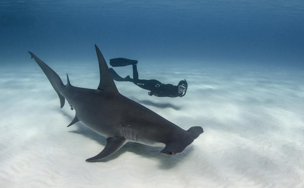 haMMerhead with freediver credit: Amanda cotton / Coral reef image bank