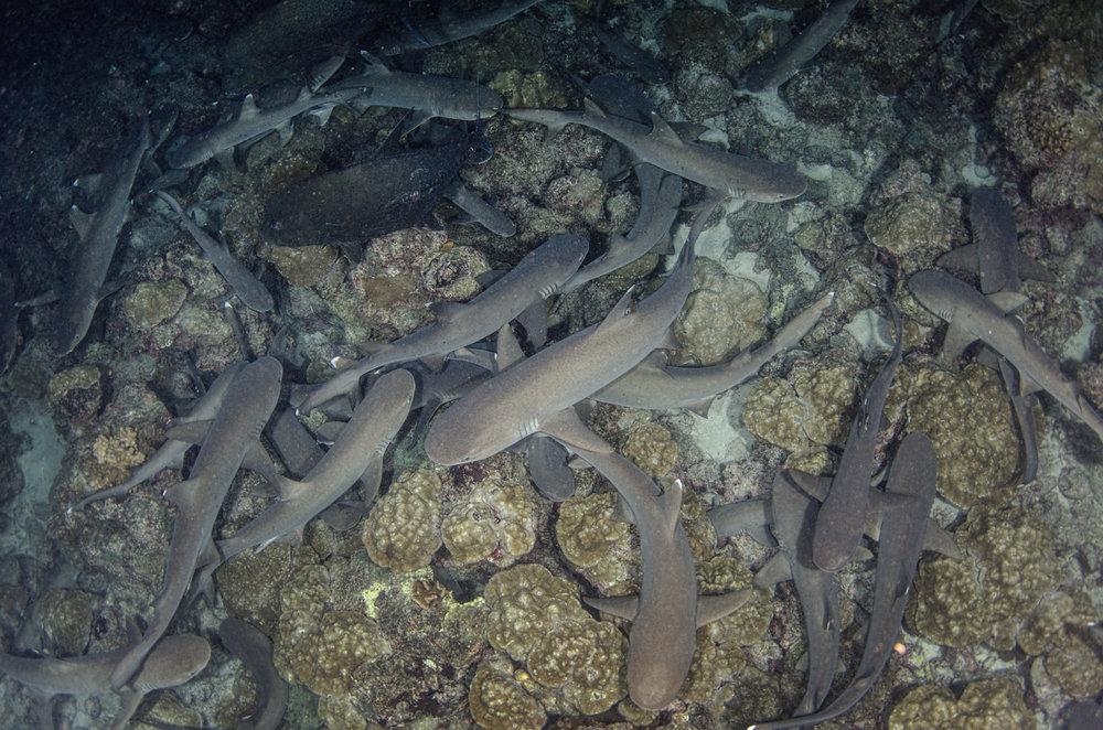 white tips credit: Amanda cotton/ Coral reef image bank