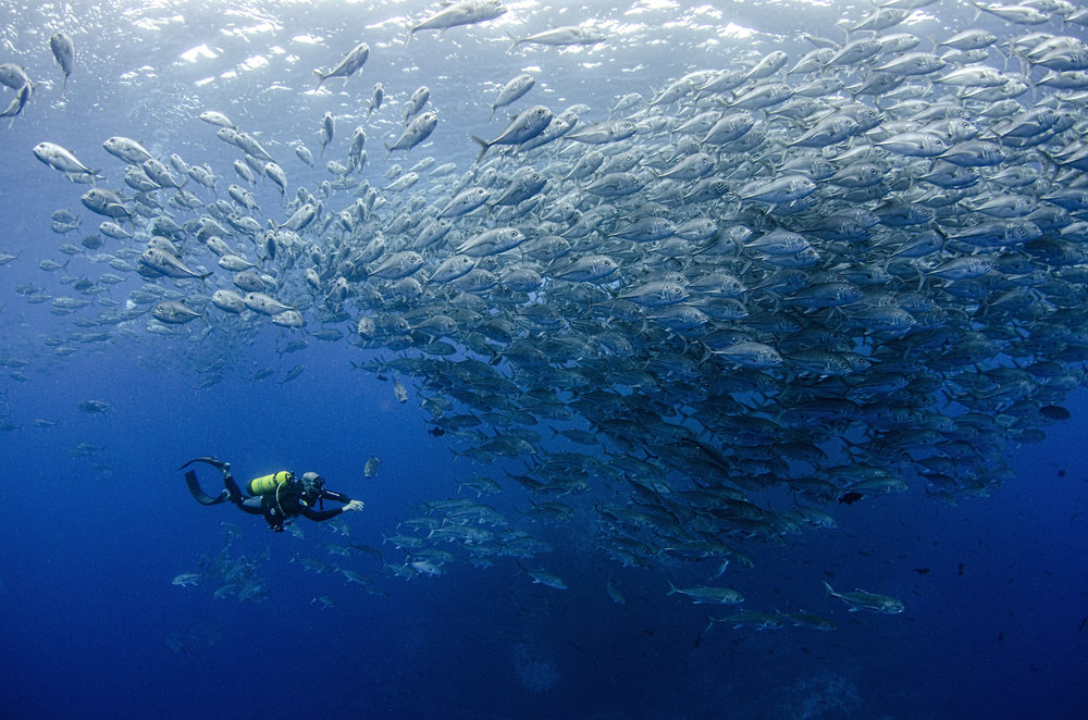trevally school with diver amanda cotton / coral reef image bank