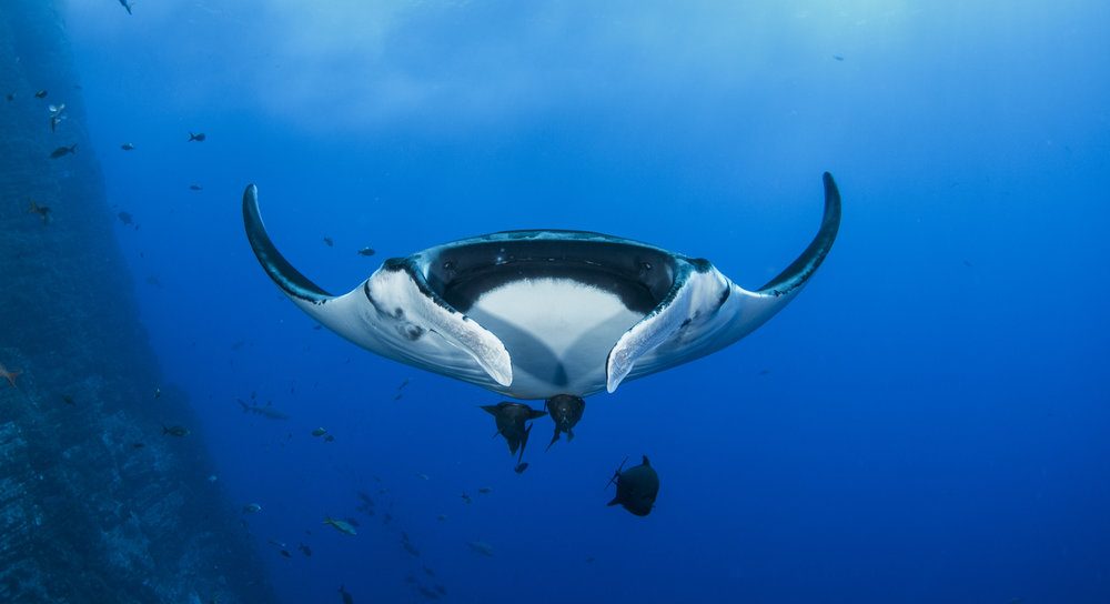 manta ray credit: amanda cotton / coral reef image bank