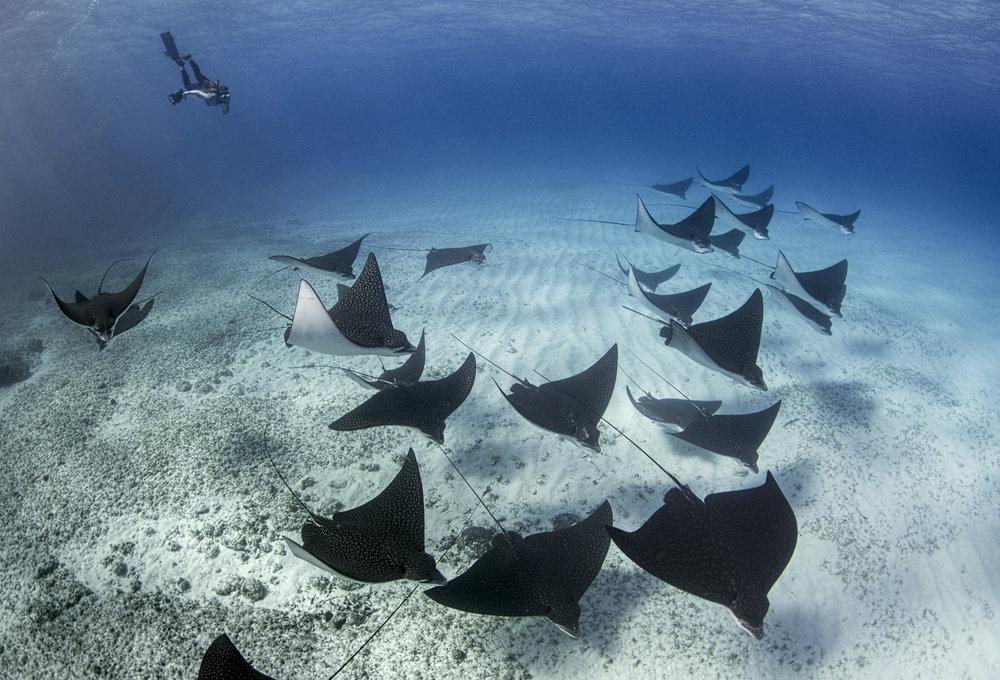 eagle ray school credit: amanda cotton/ coral reef image bank