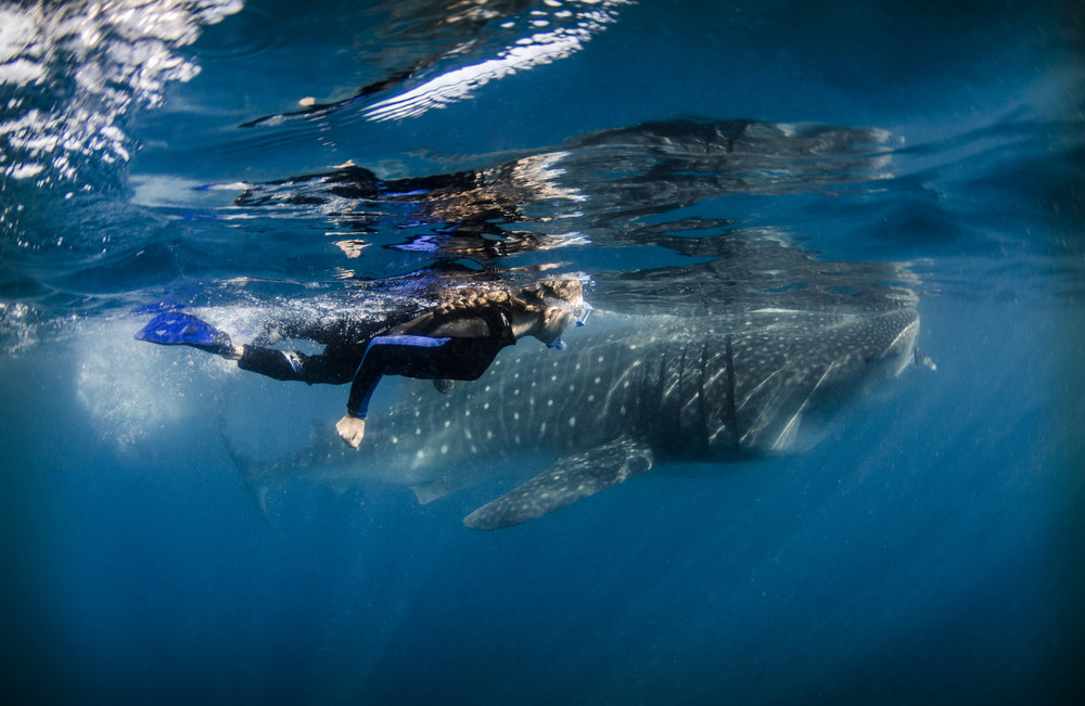 diver with whale shark credit: Amanda cotton / coral reef image bank