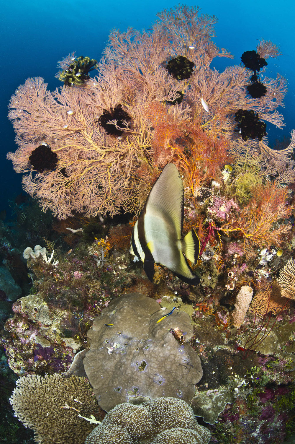 Wakatobi , Indonesia credit: wartren baverstock / coral reef image bank