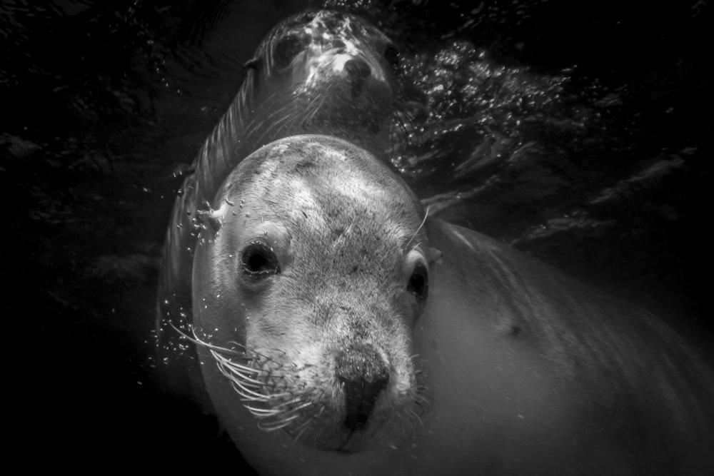 fur seals, NSW credit: Jeff hester / coral reef image bank