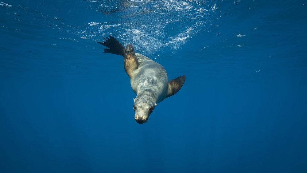 seal, channel islands credit: Jeff hester / coral reef image bank
