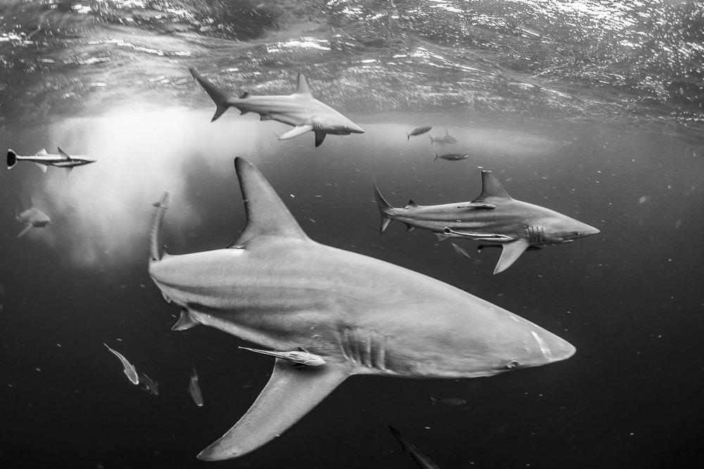 Blacktips credit: jeff hester / coral reef image bank