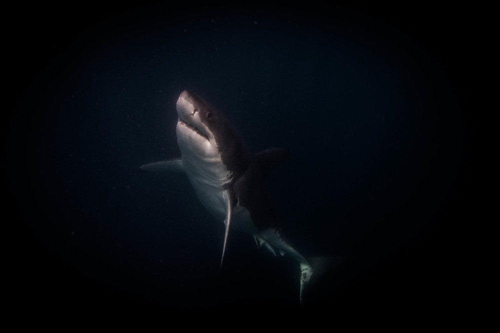 great white shark, south africa credit: jeff hester /coral reef image bank