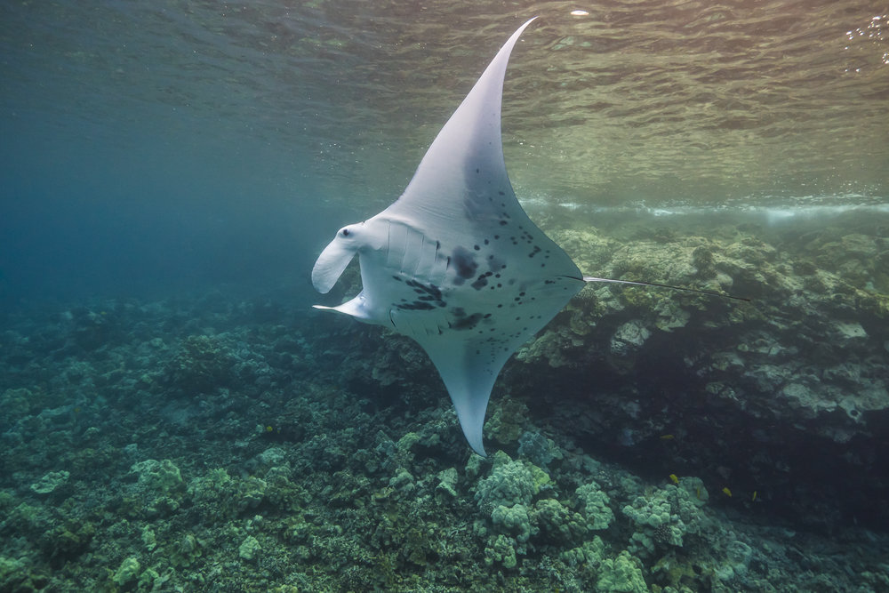 manta ray credit: jeff hester / coral reef image bank