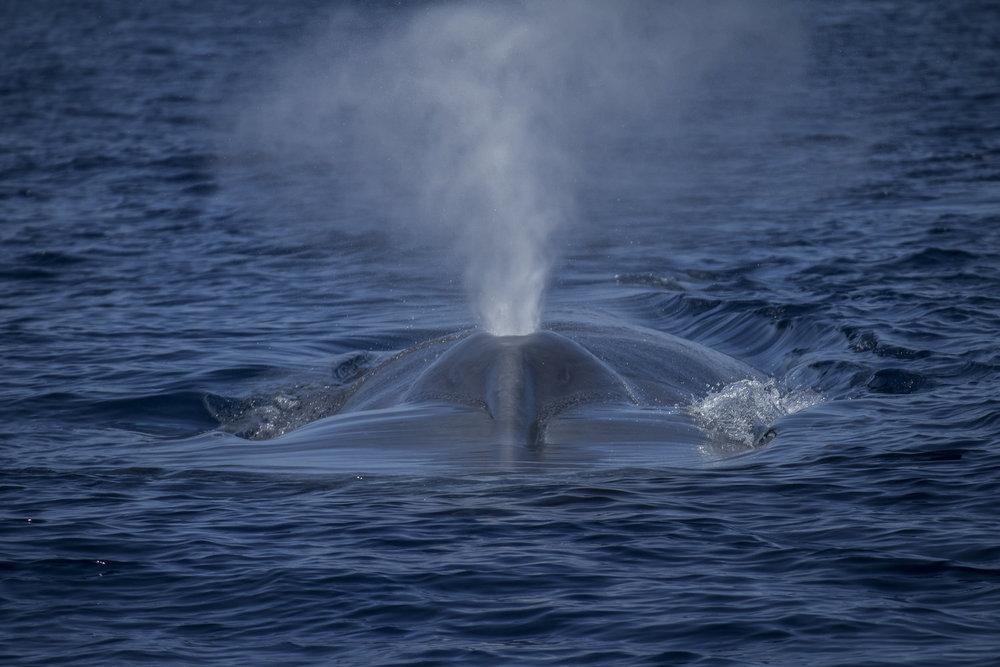 humpback spout credit: jeff hester / coral reef image bank