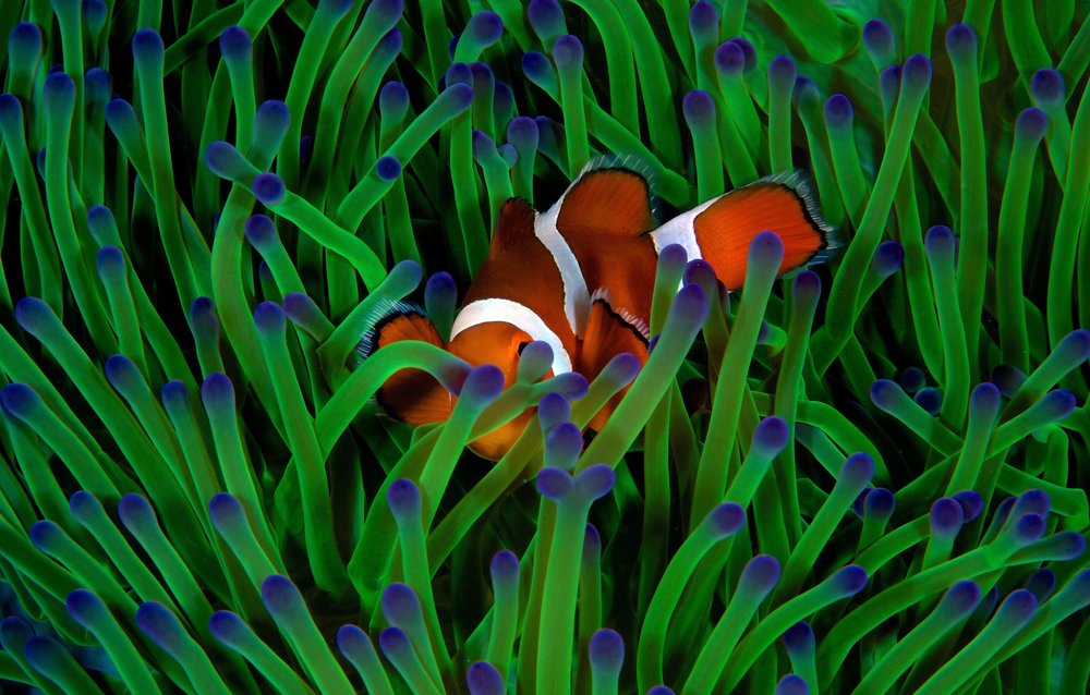 clownfish in tubbataha credit: gregory piper / coral reef image bank
