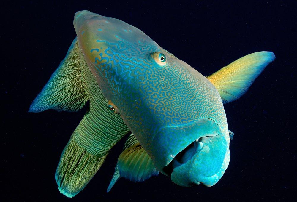 wrasse in raja ampat credit: gregory piper / coral reef image bank
