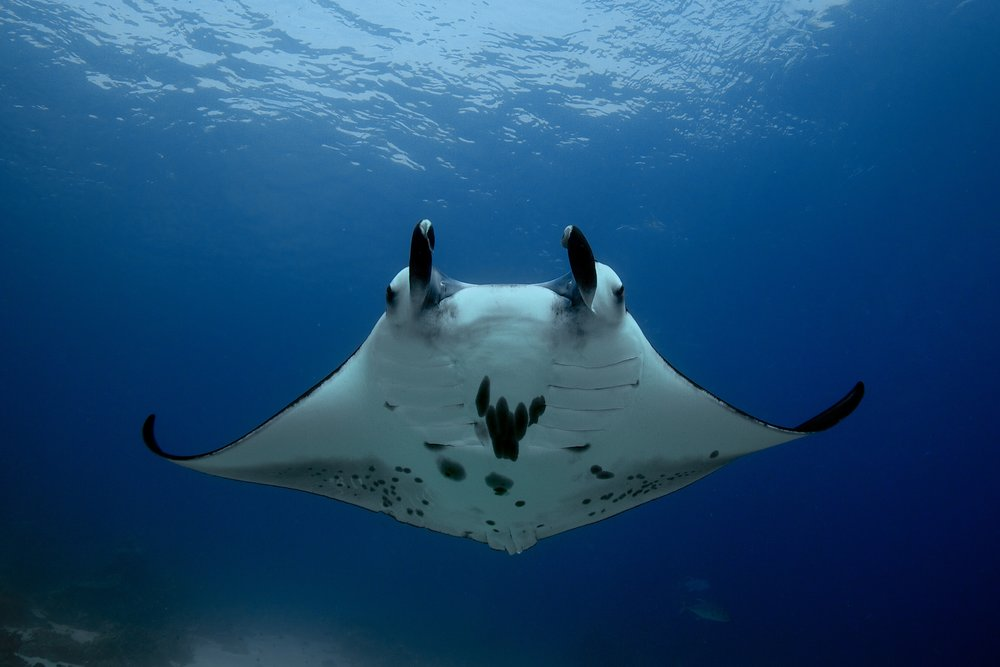 manta ray credit: gregory Piper / coral reef image bank